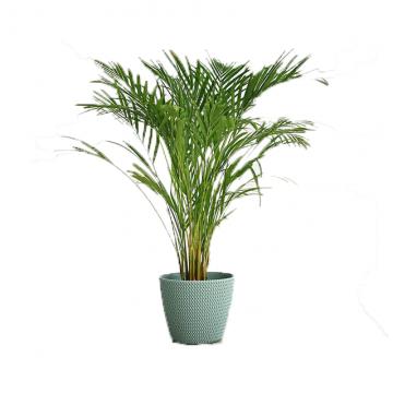 Areca Yellow Palm